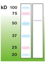 DB 002-0.1 - TP53 / p53