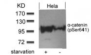 AP09467PU-S - Catenin alpha-1 / CTNNA1