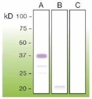 DB 080-0.05 - CD230 / PrP