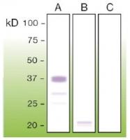 DB 080-0.1 - CD230 / PrP