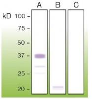 DB 081-0.1 - CD230 / PrP