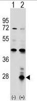 AP50321PU-N - Azurocidin