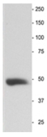 AP31816PU-N - Neuron specific enolase