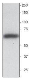 AP31821PU-N - Synaptotagmin-1