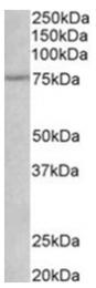 AP31775PU-N - CD271 / NGFR