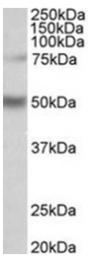 AP31788PU-N - Unc-51-like kinase 3 (ULK3)