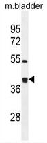 AP54426PU-N - Glutaredoxin-3 / GLRX3