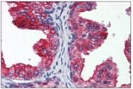 AM31963PU-N - Cytochrome b5