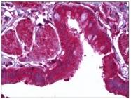 AM31920PU-N - Lactadherin
