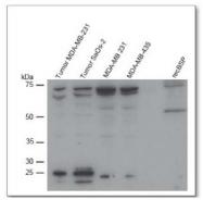 AP02051SU-S - Bone sialoprotein 2