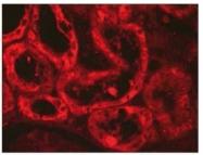 AM02260PU-S - Vasopressin (Arg8)