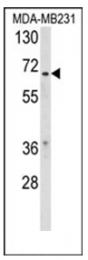 AP53774PU-N - RXR-beta / RXRB