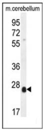 AP53819PU-N - Scleraxis (SCX)