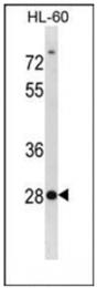 AP53822PU-N - Syntenin-2 / SDCBP2