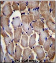AP53849PU-N - Selenoprotein N (SEPN1)