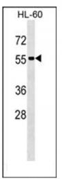 AP53850PU-N - Septin-1 (SEPT1)