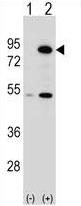 AP54240PU-N - THOC1
