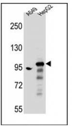 AP53902PU-N - ARHGAP27