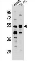 AP54217PU-N - Tektin-5