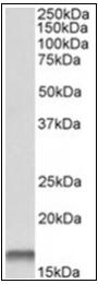AP31864PU-N - Cystatin-B