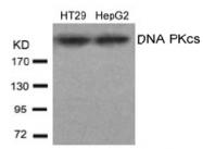 AP02696PU-S - DNA-PKcs / PRKDC / XRCC7