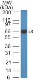 AM50107PU-N - Estrogen receptor alpha