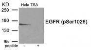 AP55858PU-S - EGFR / ERBB1