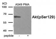 AP55870PU-S - AKT1 / PKB