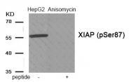 AP55908PU-S - IAP3 / BIRC4