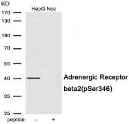AP55920PU-S - Beta-2 adrenergic receptor