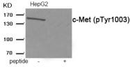 AP55921PU-S - HGF receptor