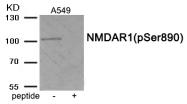AP55928PU-S - NMDA Receptor 1