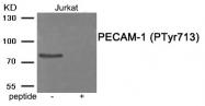 AP55942PU-S - CD31 / PECAM1