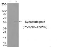 AP55688PU-S - Synaptotagmin-1