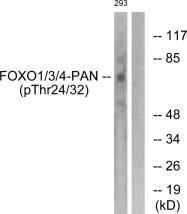 AP55699PU-S - FOXO1/3/4-pan