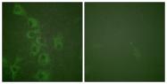 AP55724PU-S - Histamine H1 receptor