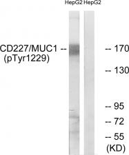 AP55735PU-S - CD227 / Mucin-1 / MUC1