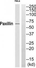 AP55781PU-S - Paxillin /  PXN