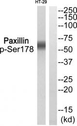 AP55792PU-S - Paxillin /  PXN
