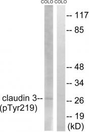 AP55809PU-S - Claudin-3 / CLDN3