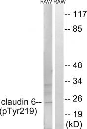 AP55811PU-S - Claudin-6 / CLDN6