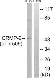 AP55813PU-N - DPYSL2 / CRMP2