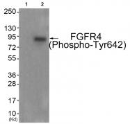 AP55850PU-N - CD334 / FGFR4