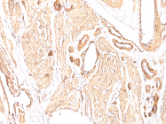AM50166PU-S - ACTA2 / aortic smooth muscle Actin