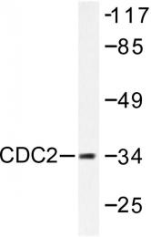 AP06042PU-N - CDK1