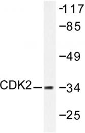 AP06046PU-N - CDK2
