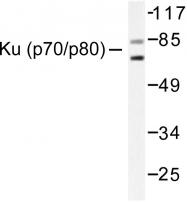 AP06208PU-N - XRCC5 / Ku80 / Ku86