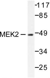 AP06221PU-N - MAPKK 2