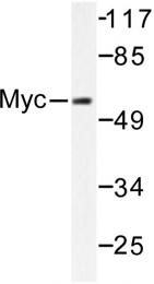 AP06240PU-N - c-Myc