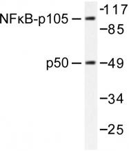 AP06243PU-N - NF-kB p105 / p50